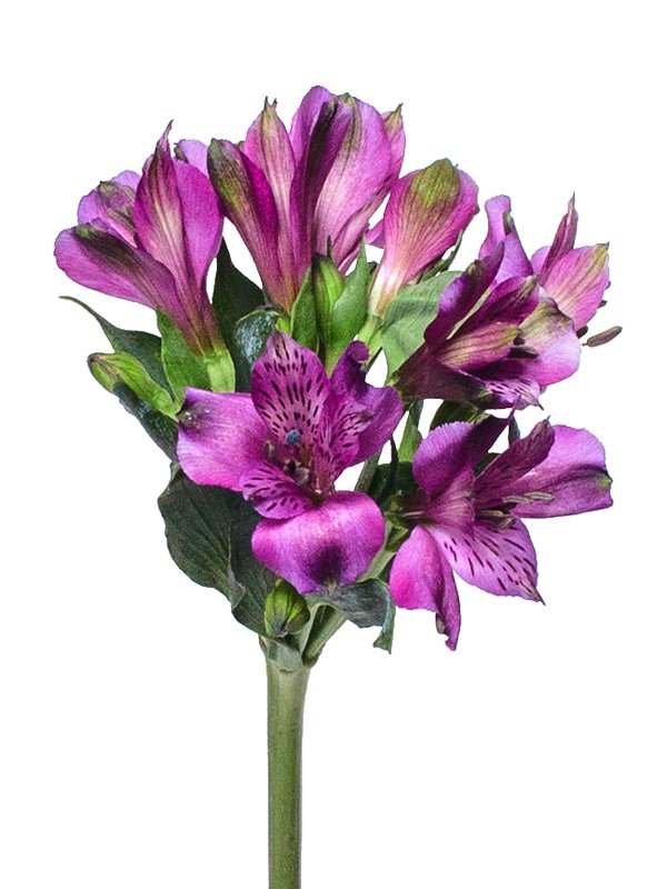 Цветок альстромерия где купить, для